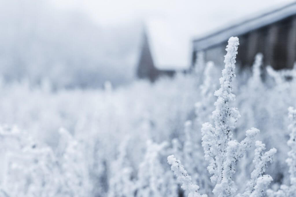 bushes with snow